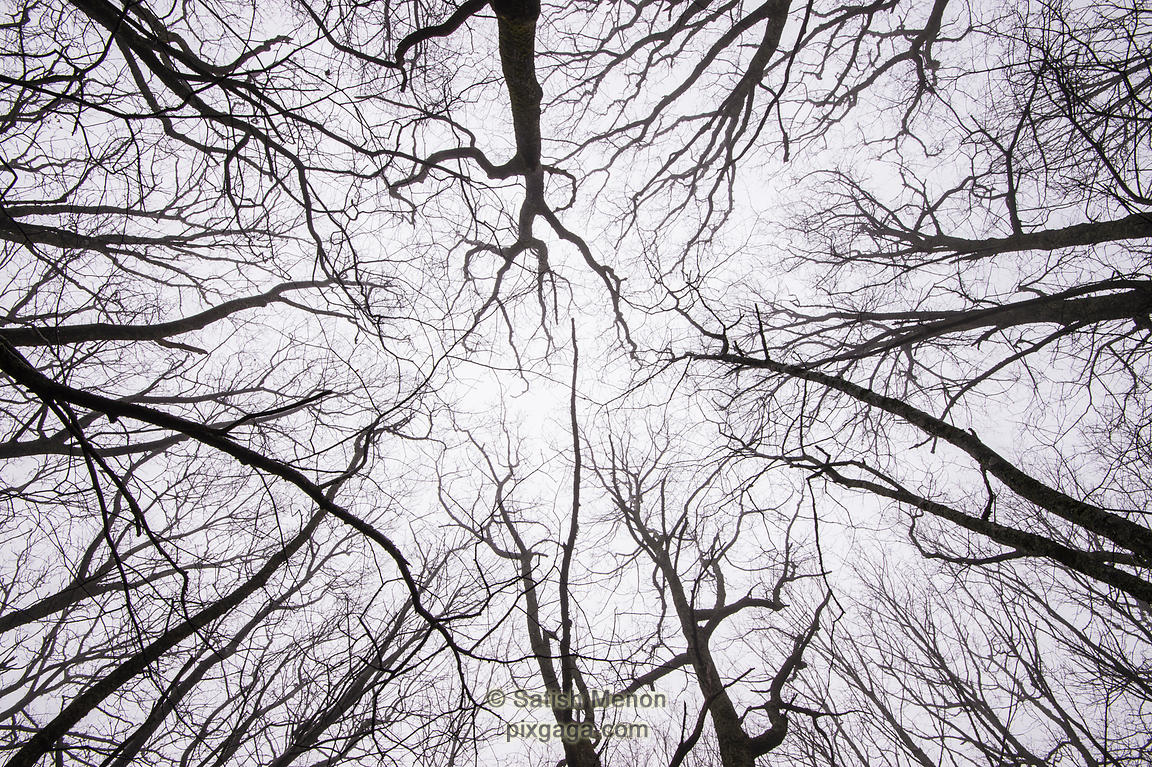 Looking up a foggy forest without leaves, Blue Ridge Parkway, North Carolina, USA