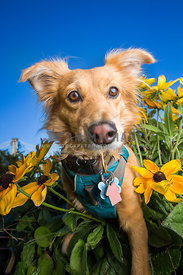 yellow dog in sun flowers