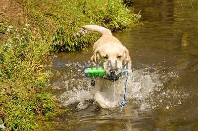 happy yellow lab splashes in water as he returns with toy in mouth