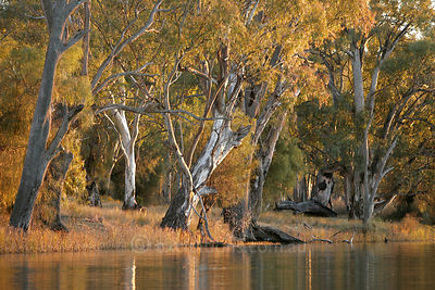 River Red Gum trees growing on banks of Murray River.