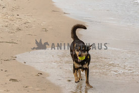 Dark colored Kelpie running towards camera on a beach with ball in his mouth,paw up.