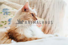 elegant orange maine coon cat relaxes on a bed by a bright window