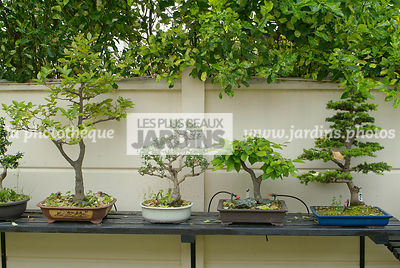Ambience, Collection Jean-Louis Mandolin, Bonsai, Digital, Outdoor Bonsai