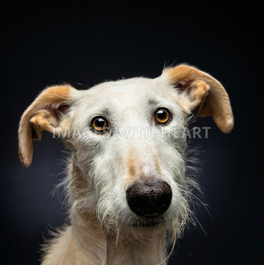 Fuzzy.single.dog.headshot.looking.at.camera