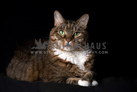 Serious regal green-eyed tabby cat sitting with crossed paws