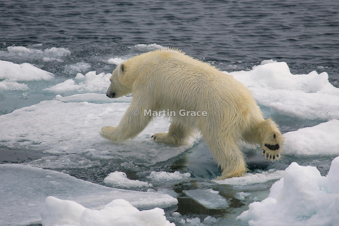 Polar Bear (Ursus maritimus) jumping from one ice floe to another, Storfjorden, Svalbard