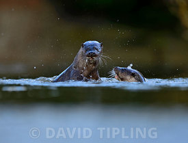 European Otter Lutra lutra young adults around 1 year old play fighting on River Thet, Thetford Norfolk March