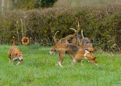 Belvoir hounds - The Belvoir Hunt at Debdale Farm