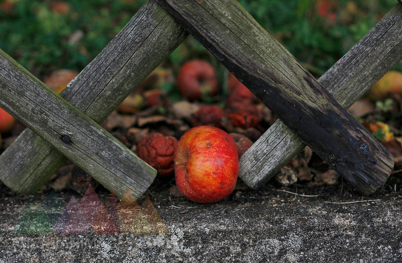 Germany, Apple in garden with wooden fence
