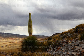 Puya raimondii plant in flower, rainy season storm in background, Bolivia