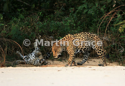 Male Jaguar 'Hero' (Panthera onca) looks absolutely exhausted as he trudges past female 'Hunter', who is rolling energeticall...