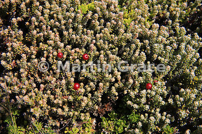 Diddle-Dee (Empetrum rubrum), typically a dominant species of Falkland dwarf shrub heath, Pebble Island
