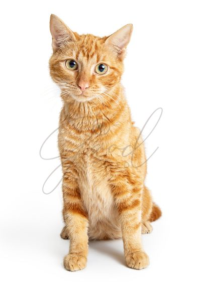 Friendly Orange Cat Sitting Looking at Camera
