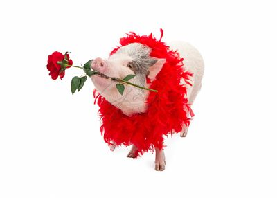 Pig Wearing Boa Holding Rose