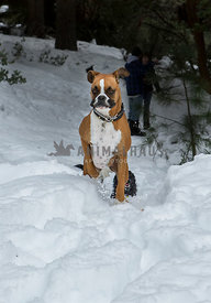 Boxer dog running in snow with people in the background