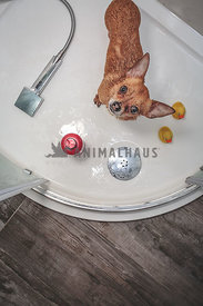Chihuahua in the Shower with rubber ducks