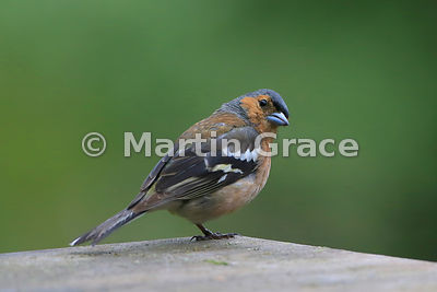 Male Common Chaffinch (Fringilla coelebs) standing on one leg, Badenoch & Strathspey, Scottish Highlands