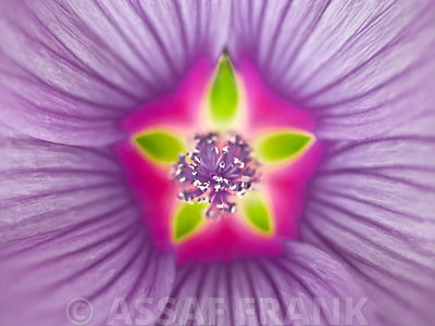 Close-up of purple Lavatera Flower, full frame