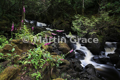 Aros Burn Upper Falls with Foxgloves (Digitalis purpurea), Aros Park, Tobermory, Isle of Mull, Scotland