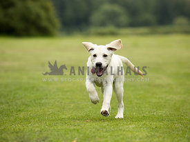 pale yellow labrador puppy running towards camera with flying ears and tongue out