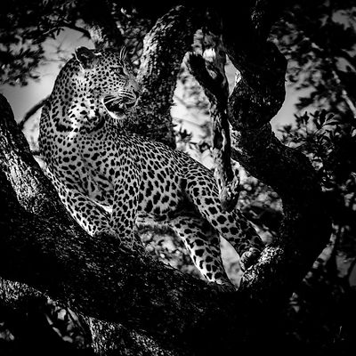4847-Leopard_in_a_tree_South_Africa_2008_Laurent_Baheux