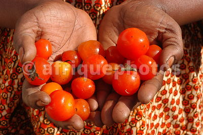 Tomatoes in hands