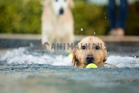 dog fetching tennis ball in pool