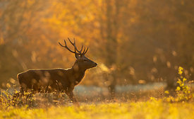 Red Deer Stag on a Cold Morning
