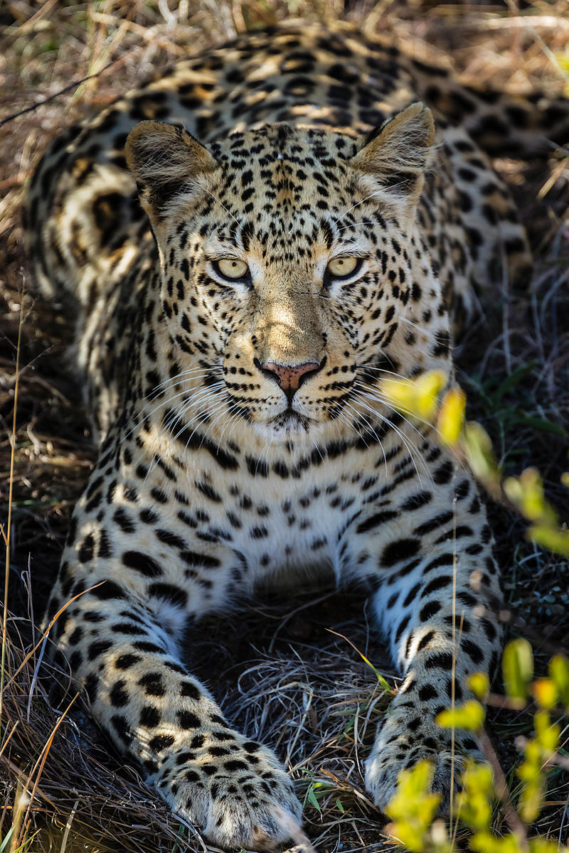Female Leopard with Radio Collar