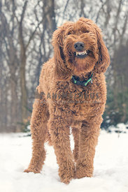 Smiling brown golden doodle dog in the snow