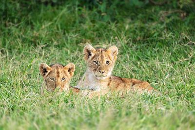Two Cute Lion Cubs in Africa