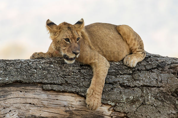 A Lion Cub Rests on a Fallen Tree Trunk
