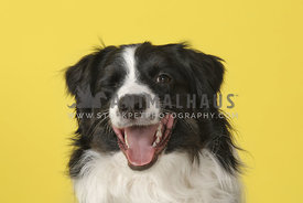 Bordercollie winking and smiling on yellow background