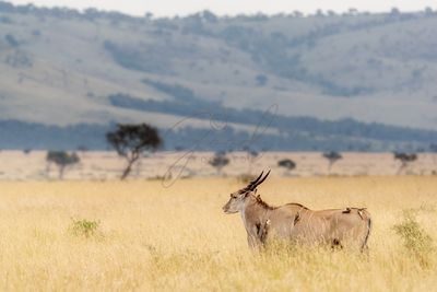 Eland in Kenya With Oxpeckers