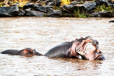 Hippos Playing With Mouths Wide Open
