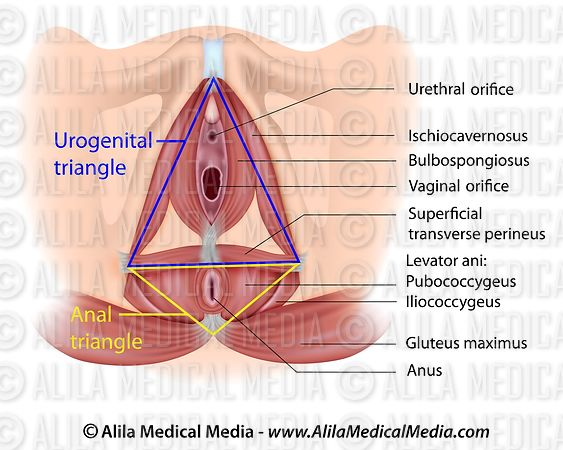 Urogenital and anal triangles