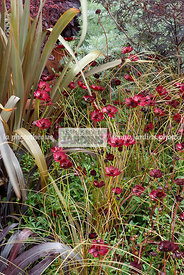 Association : Carex comans 'Bronze Perfection' et Cosmos atrosanguineus 'Chocamocha' (cosmos chocolat), Paysagiste : Clive Sc...