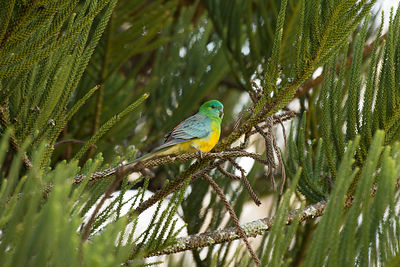 Red-rumped parrot in a tree