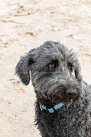 Grey hairy dog looking off camera sitting on a beach, portrait mode, space at top one eye visible.