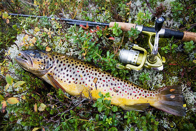 Fooled Brown Trout