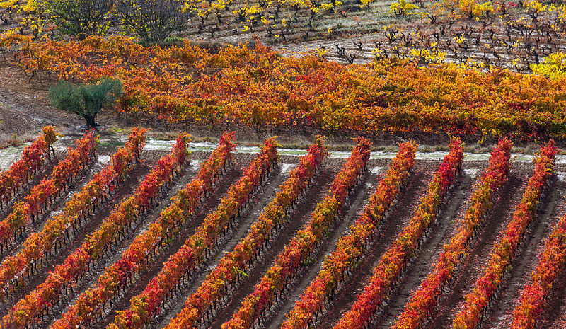 Rows of vines in vineyard in autumn, La Rioja, Sierra De Cantabria, Alava, Basque Country, Spain. November 2017.