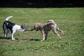 A game of tug of war between two dogs