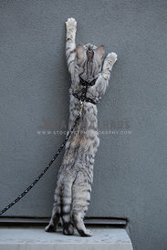 cat wearing harness reaching up wall