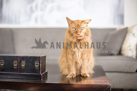 Odd looking orange Tabby cat sits on a coffee table