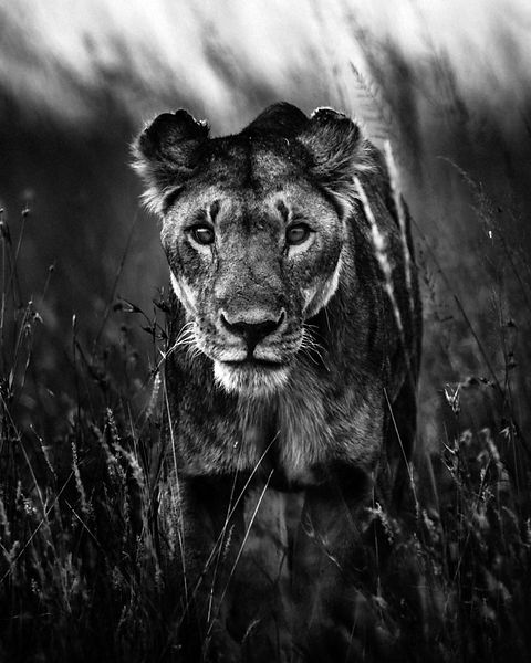 5224-The interested lioness, Kenya 2013 © Laurent Baheux