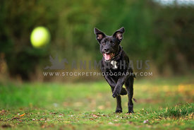 black puppy chasing tennis ball