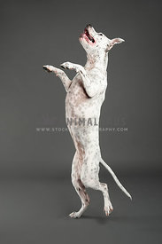 black and white spotted pitbull standing up on one back leg on grey background