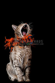 Halloween Cat with Orange and Black Collar Howling
