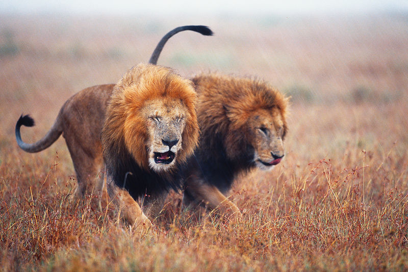 Two Male Lions Walking in the Rain
