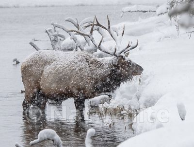 Elk-Madison_River-1043_January_19_2018_Nat_White